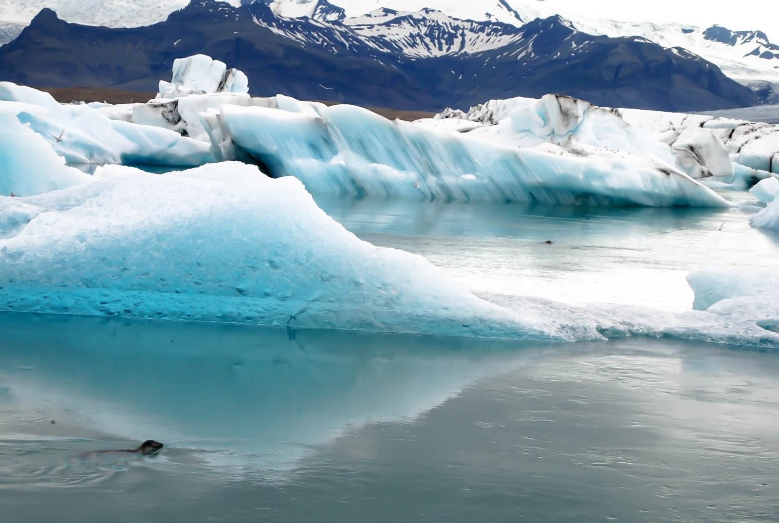 Seals in Jökulsárlón Glacier Lagoon in Iceland