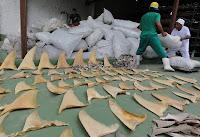 Sete toneladas de barbatanas de tubarão são apreendidas no PA