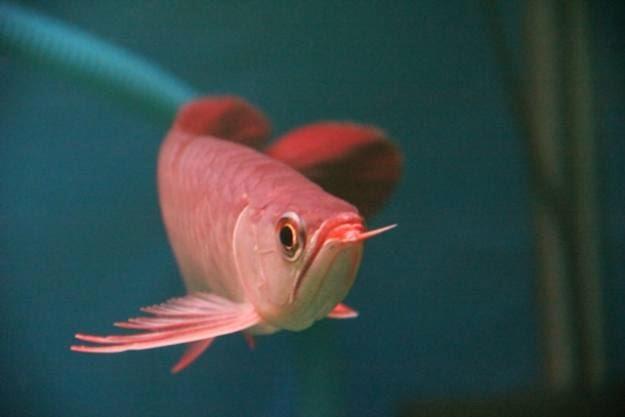 budidaya ikan arwana golden red
