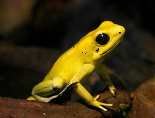 Phyllobates terribilis: RANA DARDO VENENOSA