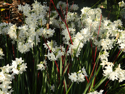 blooming paperwhites and red twig dogwood at allan gardens christmas flower show 2012 by garden muses: a Toronto gardening blog