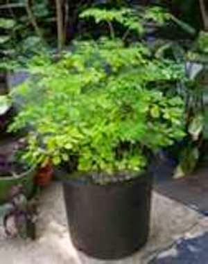 Can I Grow Moringa in Vermiculite