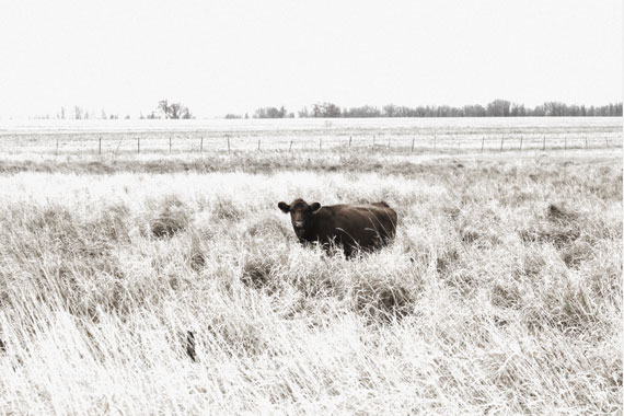 Infrared type photo of cow in long grass