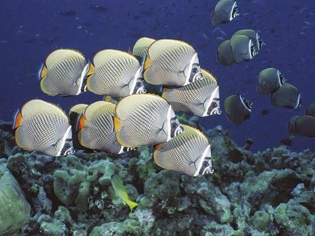 أجمل الأسماك الاستوائية الملونة   - صفحة 2 Colorful-tropical-fishes-14