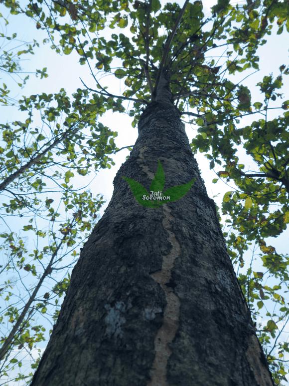 Pohon_Jati_Solomon_Umur_4_tahun_Semarang3