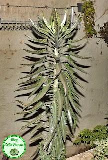 Cultivo de planta suculenta para jardim