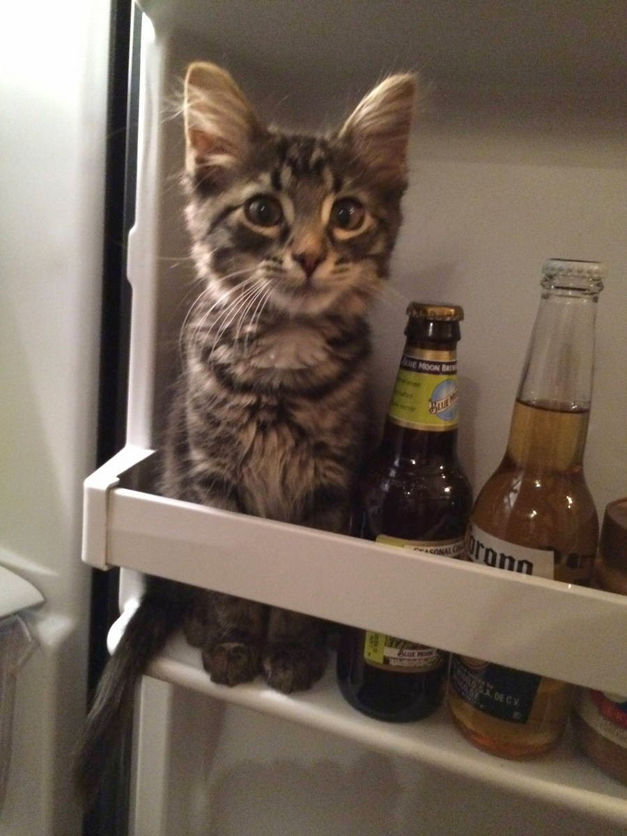 Funny cats - part 94 (40 pics + 10 gifs), cat pictures, kitten sits in refrigerator next to beers