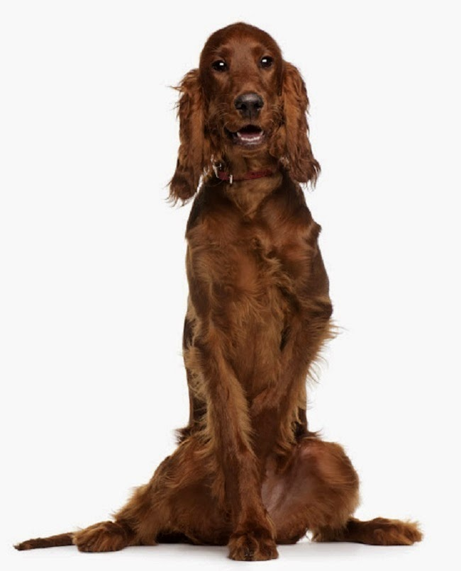 Psy rasy Seter Irlandzki