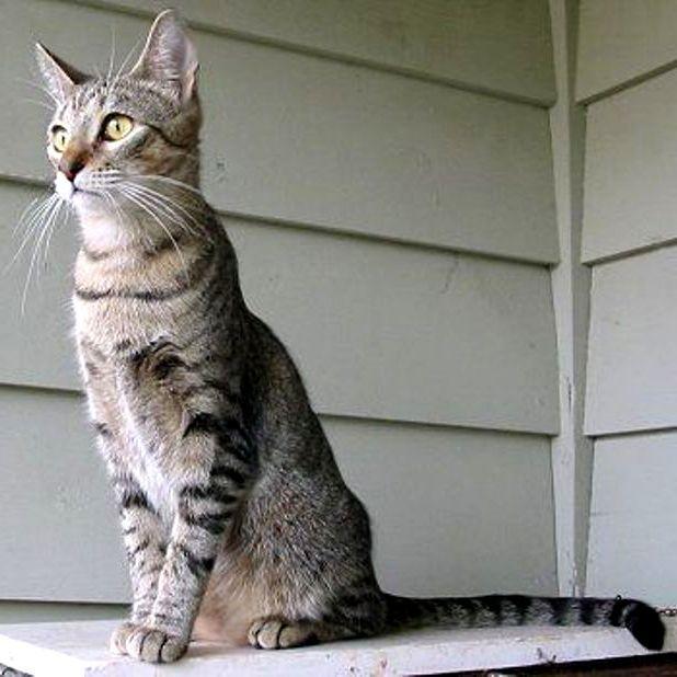 Macam Jenis Kucing Jenis Jenis Kucing Berdasarkan Ras