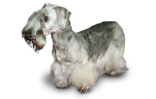 Cesky Terriers Photo