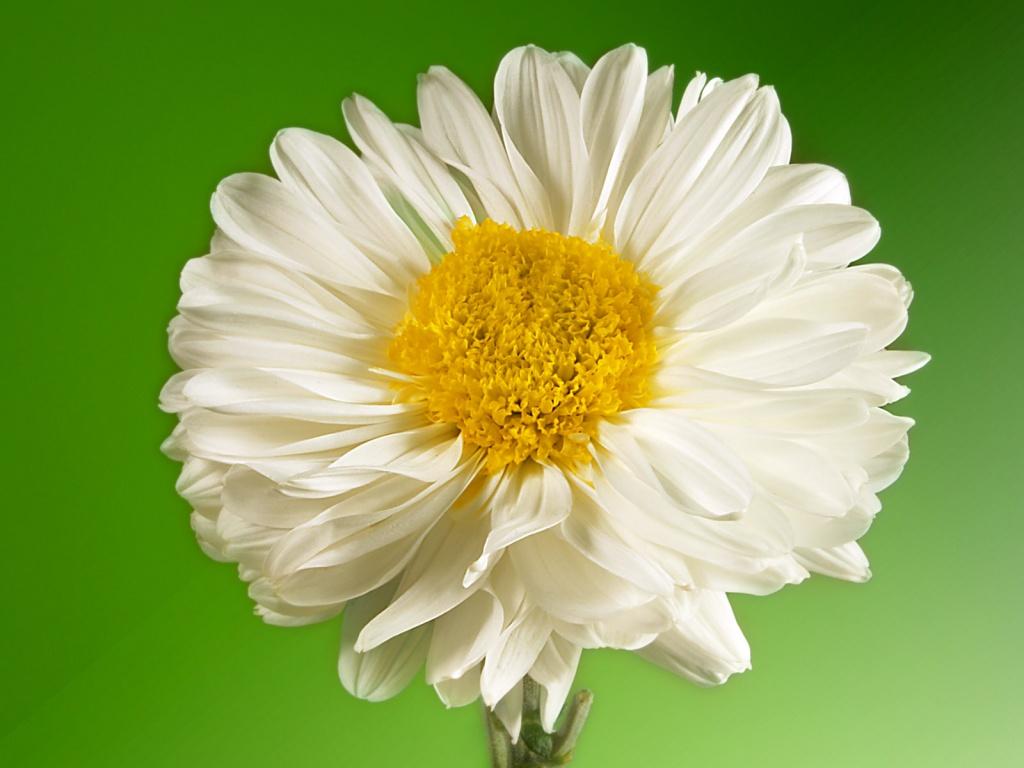 Yellow Wallpaper White Flowers