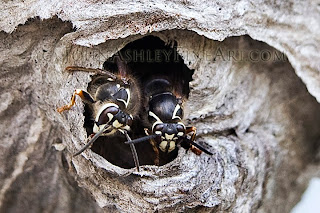 Bald-faced hornets (c) John Ashley