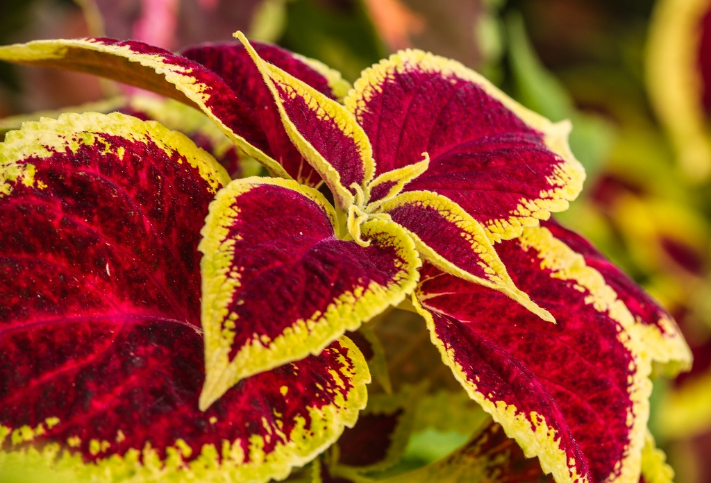 Peces y plantas ornamentales coleus blumei c leo for Algunas plantas ornamentales