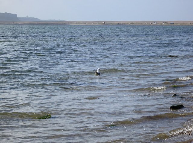 Herring gull swimming on sea