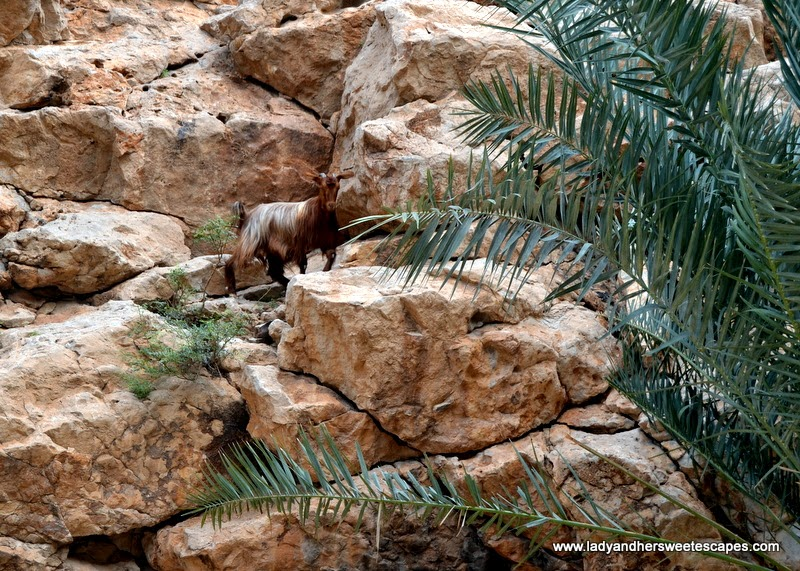 mountain goat in Wadi Shab