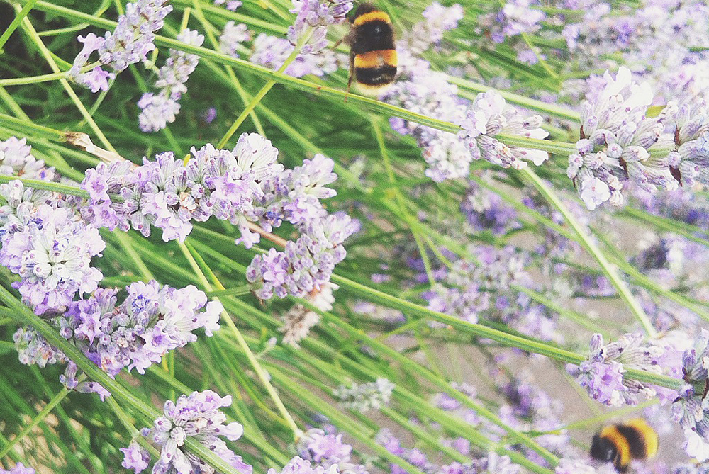 Lavender and bumble bees