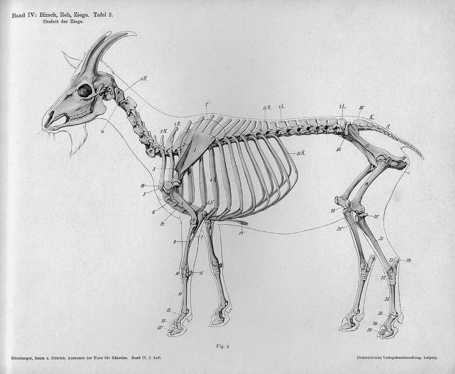 Anatomical illustrations of common animals by Hermann Dittrich ...