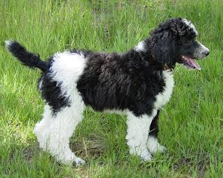 Gambar Anjing poodle