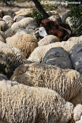 Herd of sheep in the french garrigue