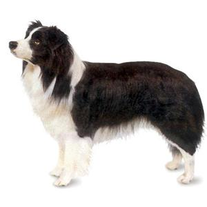 border collie pics dog