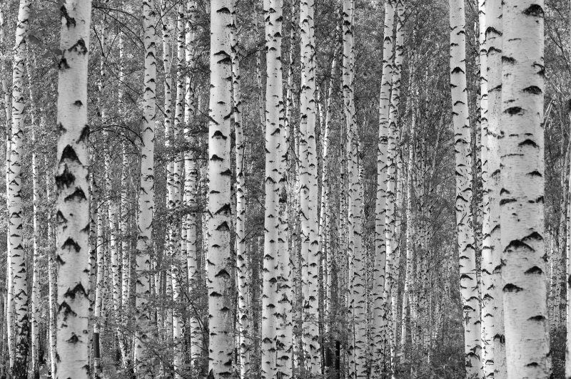 Canadian cottager show and tell birch tree mural for Birch tree forest wall mural