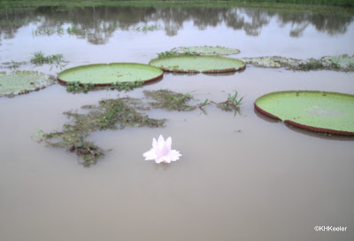 Victoria amazonica flower, Peruvian Amazon