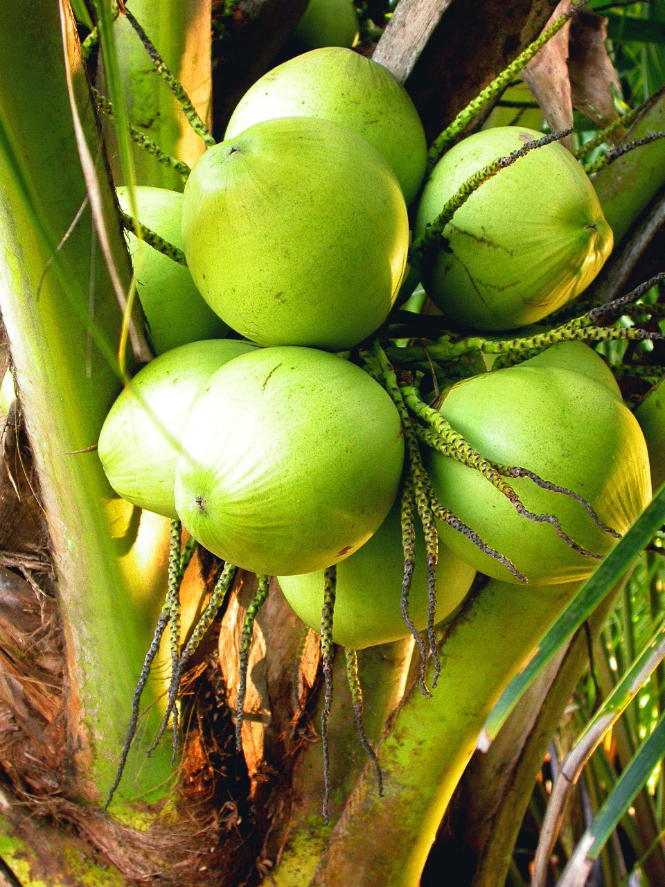 Manfaat Yang Tersimpan dari Kelapa untuk Kecantikan
