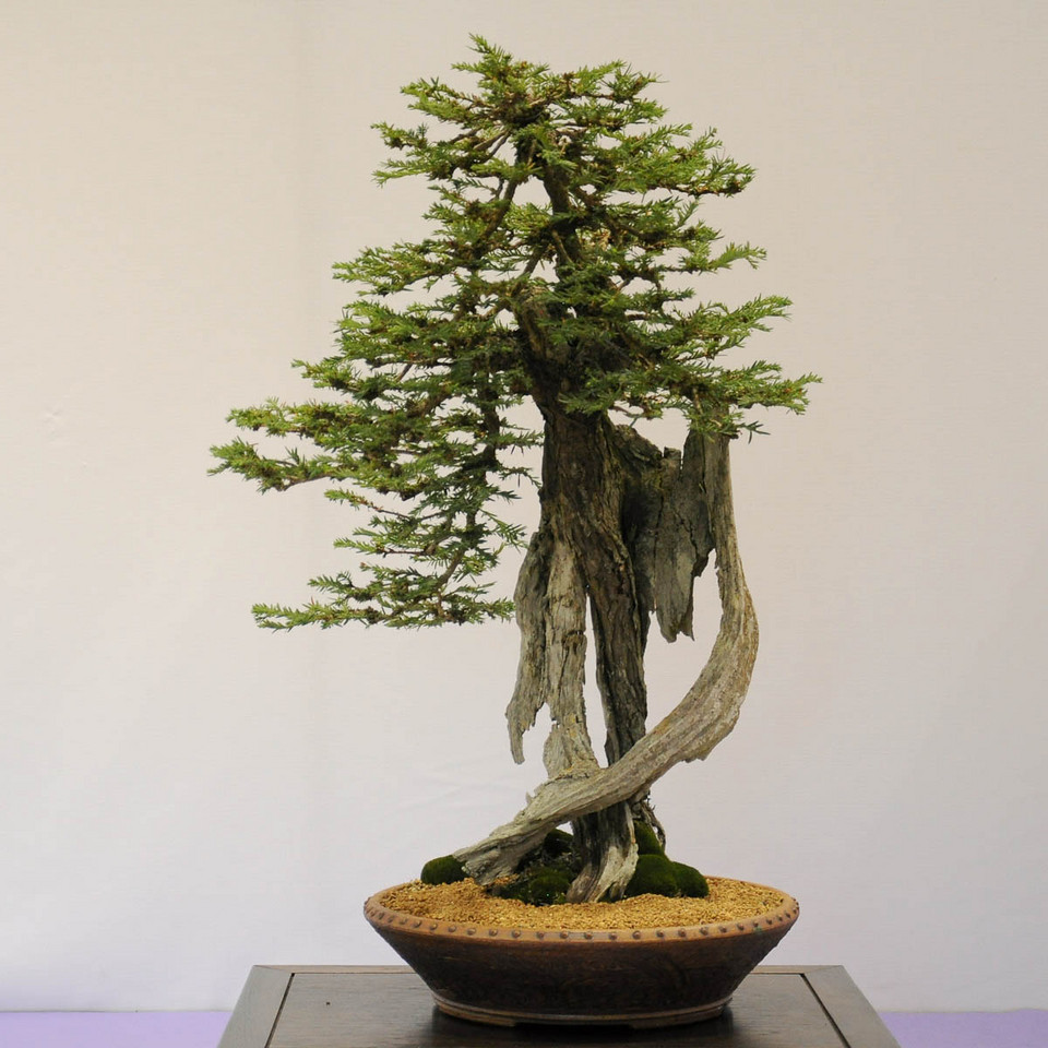 Deadwood Bonsai Trees Big Little Trees