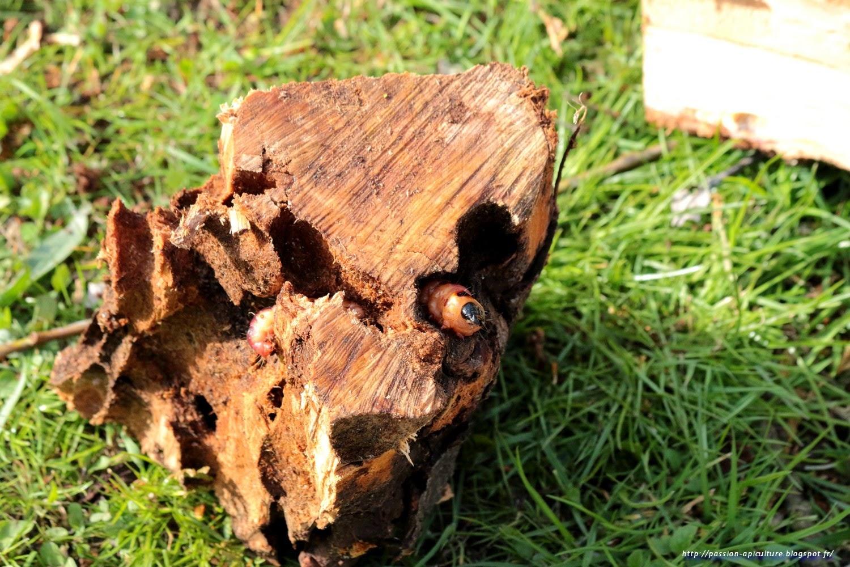 Passion Bois en ce qui concerne passion-apiculture. le blog de l'abeille pat: cossus gâte-bois