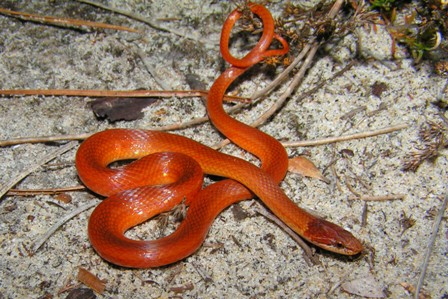 PineWoodsSnake Brevard2 Amazing Colorful Snakes   Most Beautiful Venomous Snakes of the World