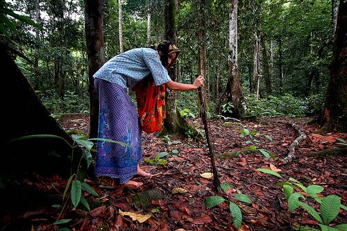 Nenek Kebayan search traditional herbs