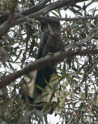 Short-billed Black Cockatoo (Calyptorhynchus latirostris)