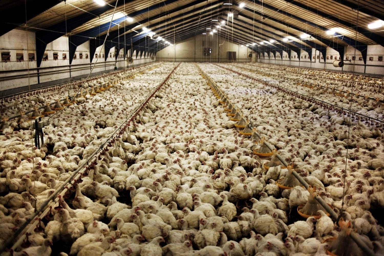 burhøns skrabehøns og fritgående høns