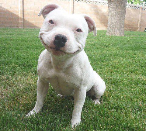American-Pitbull-Funny-Pic.jpg