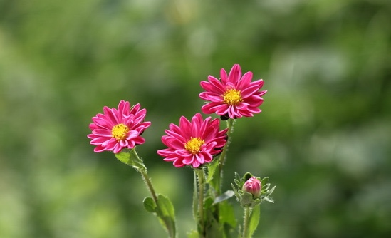 Flowers World Grow Aster Flower For A Majestic Of Fall Colors