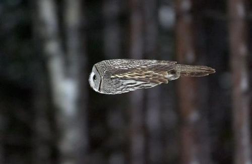 фотография совы