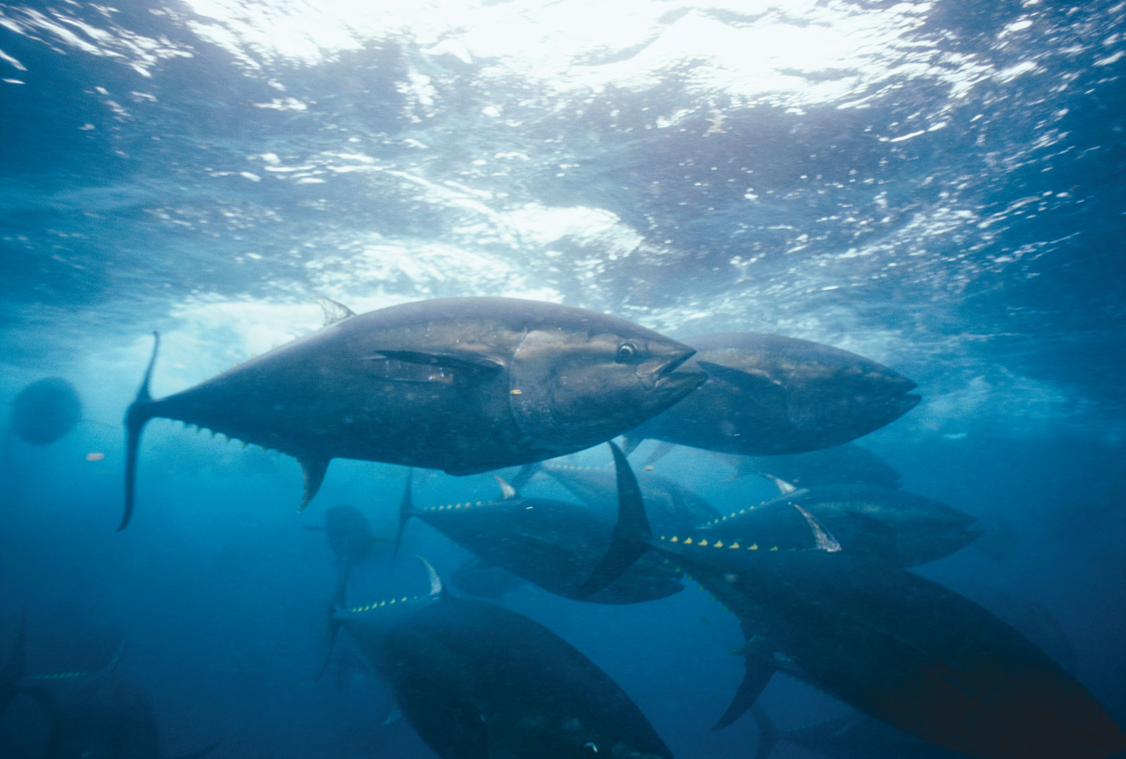 Bluefin tuna fish latest pictures for Tuna fishing videos