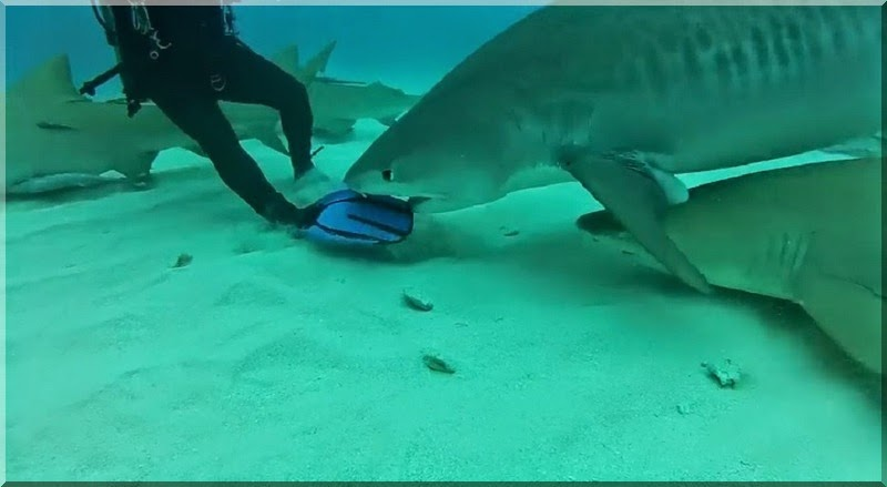 Tiger shark attempts to bite divers swim fin.  Tiger Beach Bahamas with Jim Abernethy