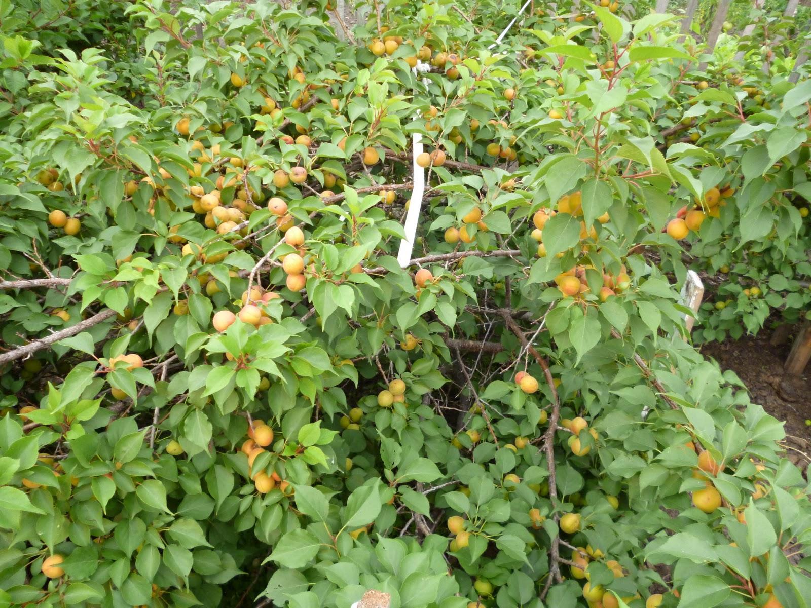 Как вырастить абрикос из косточки в