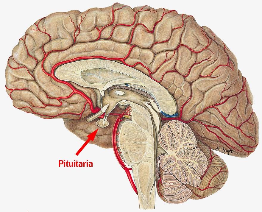 Magnífico Ubicación De La Glándula Pituitaria Cresta - Imágenes de ...