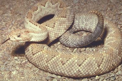 island rattlesnake
