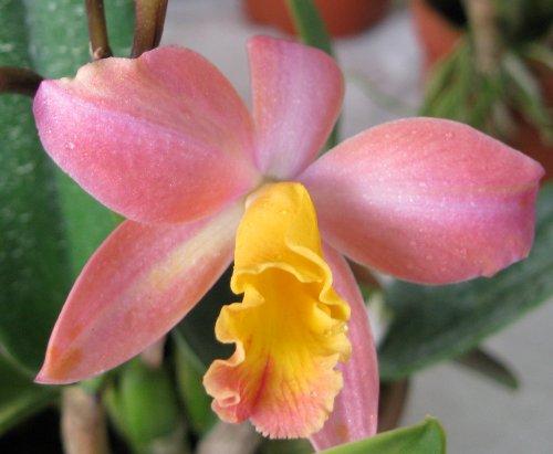 Cattleya blade flower the queen of orchids world of for Orchidea cattleya