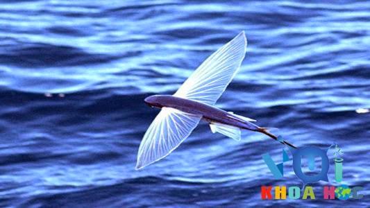 cá chuồn bay