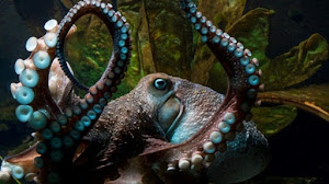 OCTOPUS AMAZING ESCAPE FROM AQUARIUM TO THE SEA