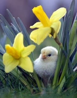 Chick in Daffodils
