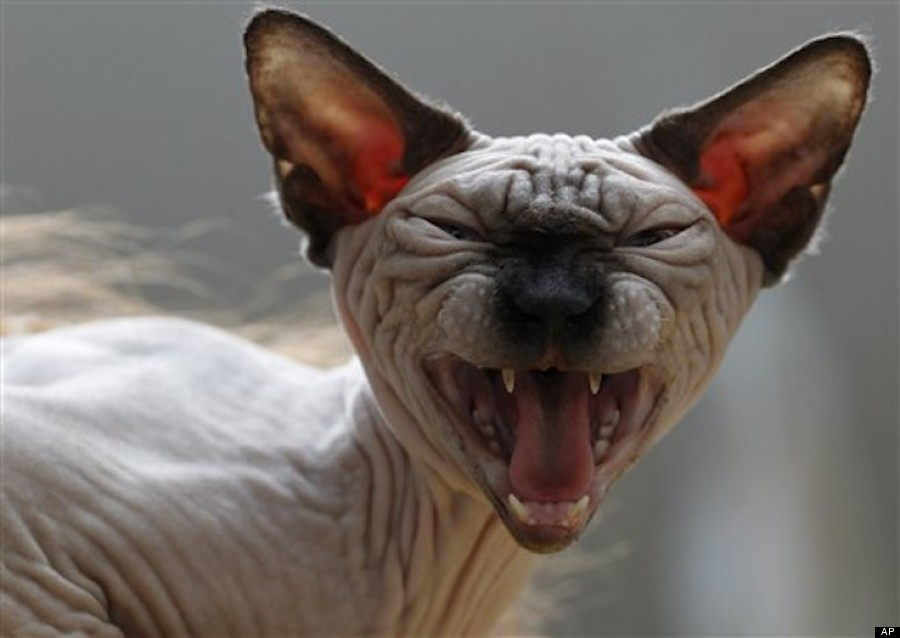 munchkin cat buy