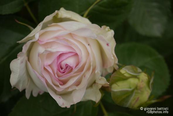 Fotografia di bocciolo di rosa bianca e rosa