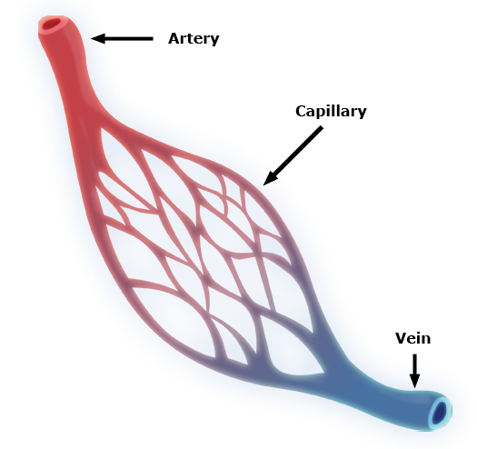 Blood vessels, Circulation,