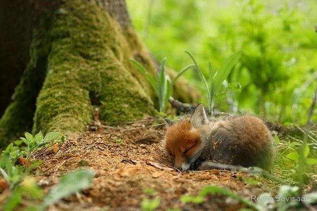 heartwarming photos of foxes-3