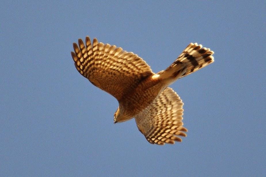 Just Fledged: 17/04/14 and 19/04/14.Ospreys, Bald Eagles ...   925 x 617 jpeg 108kB